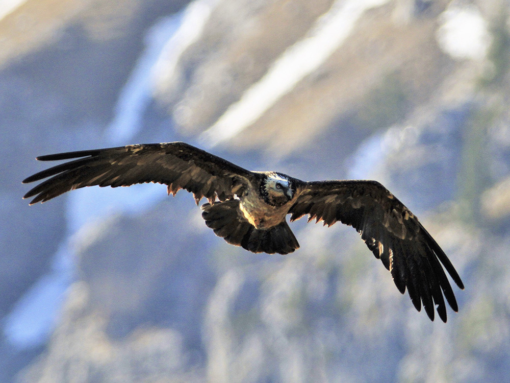 Quebrantahuesos Birding Aragon Pirineos