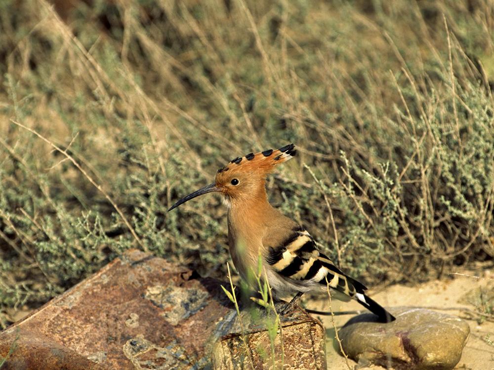 Abubilla Birding Aragon