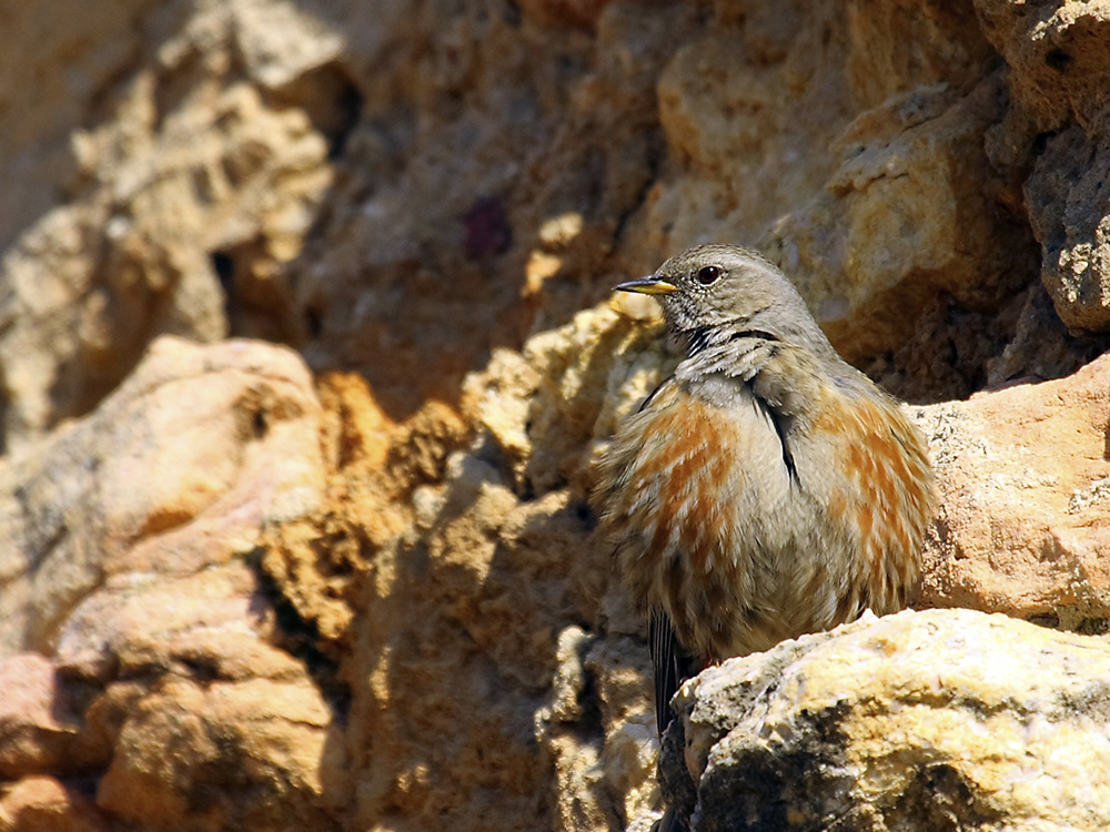 acentor alpino birding aragon