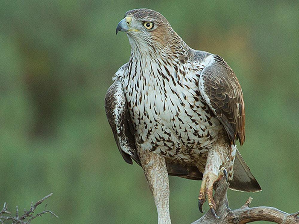 Aguila Perdicera Aves Emblematicas Aragon