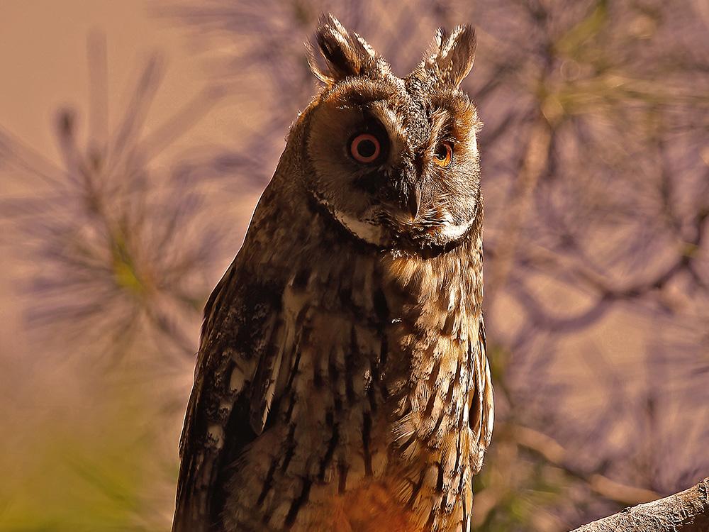 Buho Chico Birding Aragon