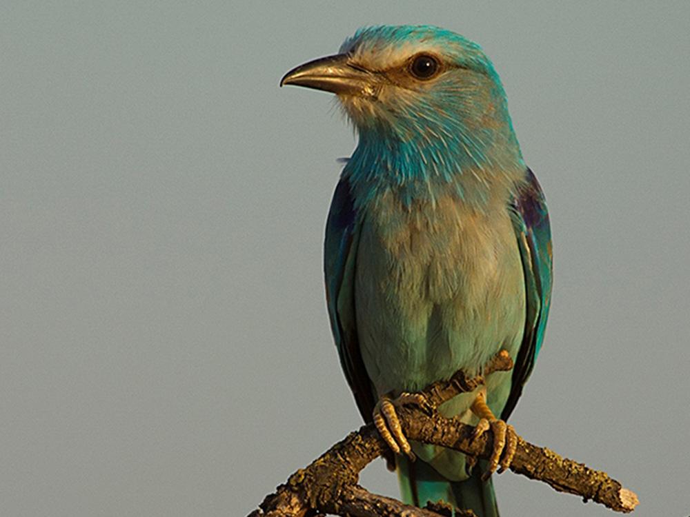 Carraca Europea Aves emblematicas