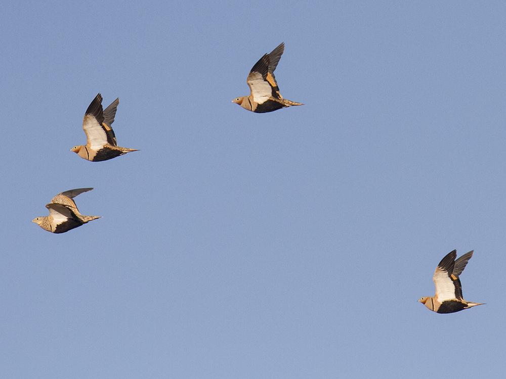 Ganga Ortega Aves Emblematicas