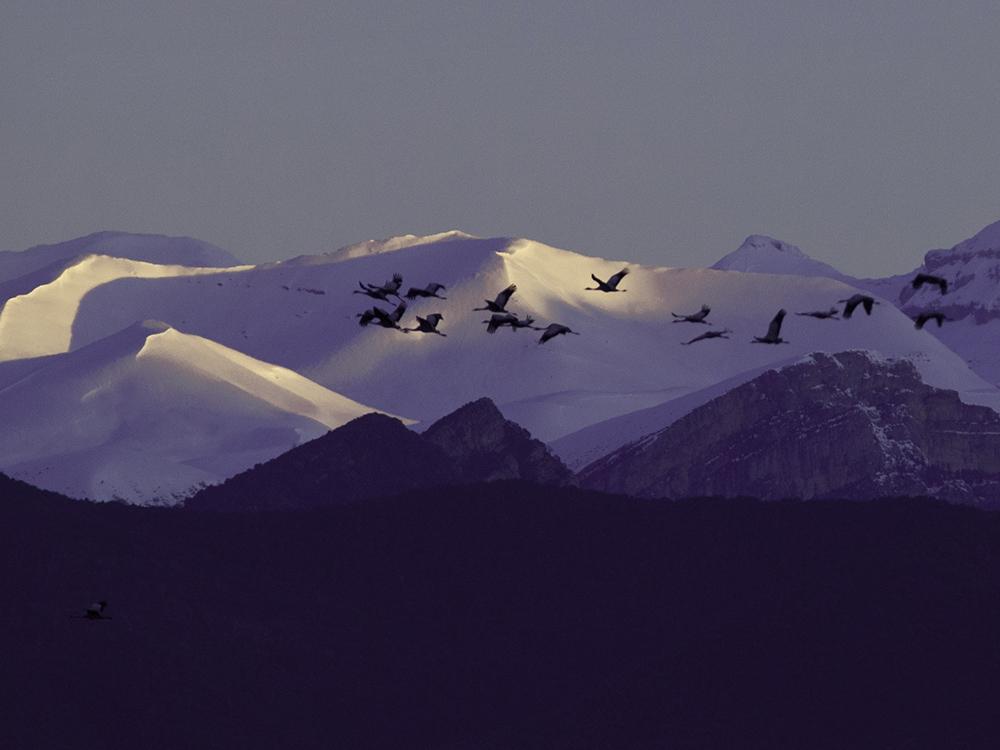 grulla comun aves emblematicas