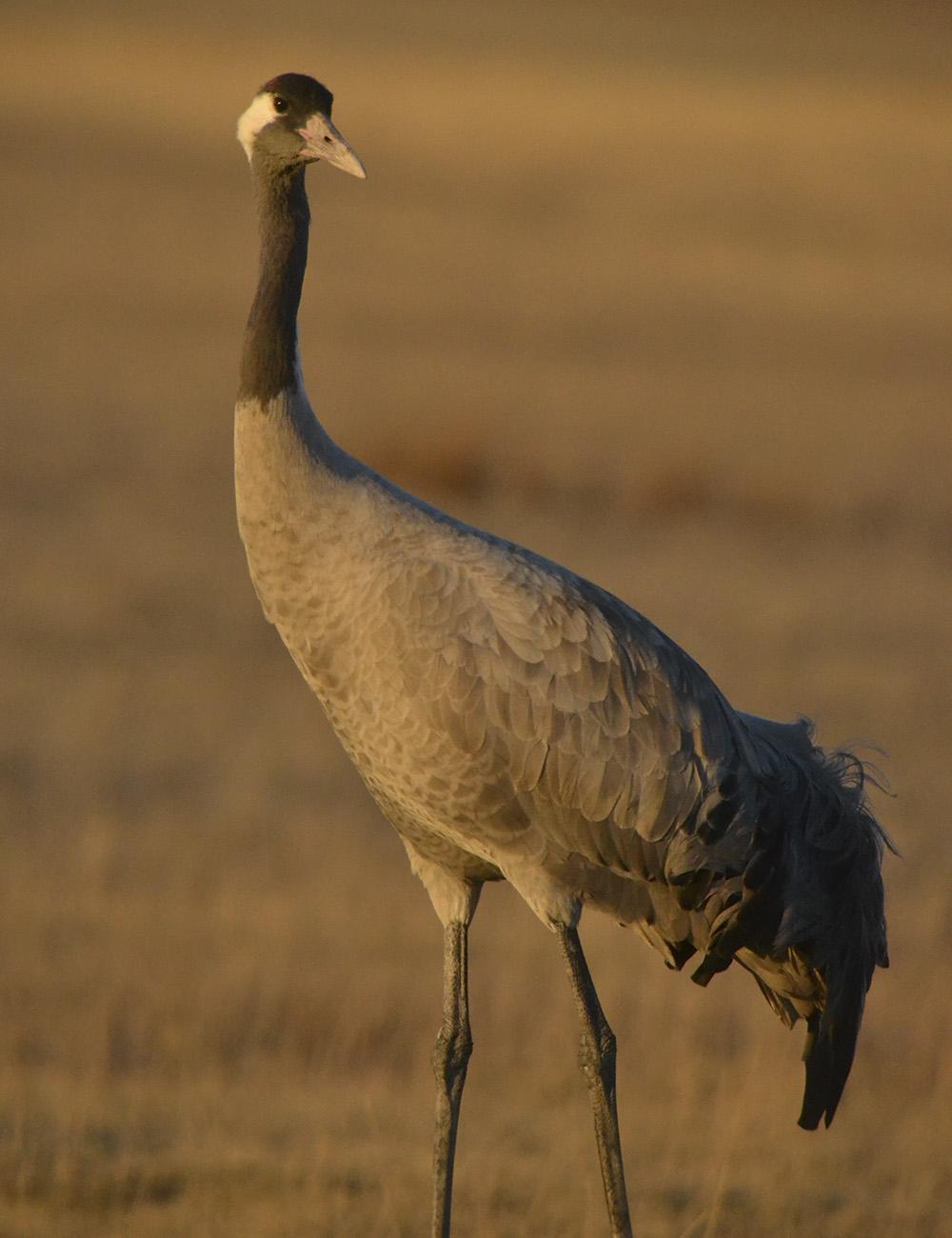 Grulla Comun Birding Aragon