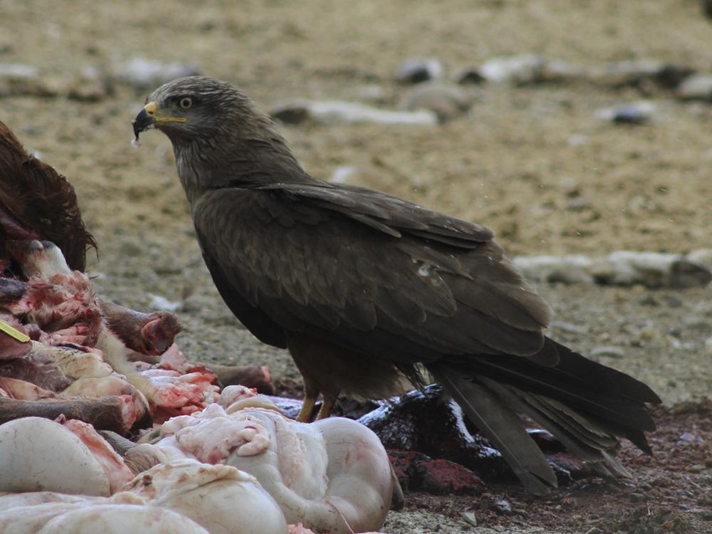 milano negro birding aragon