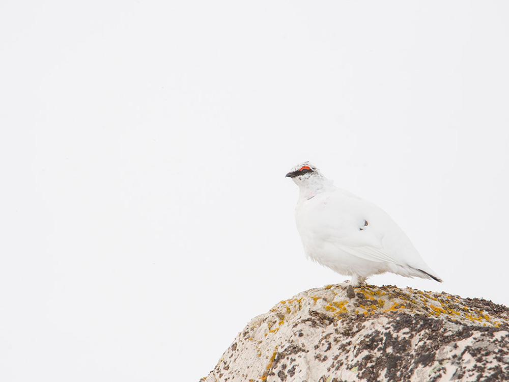 Perdiz Nival o Lagopodo Alvino Birding Aragon