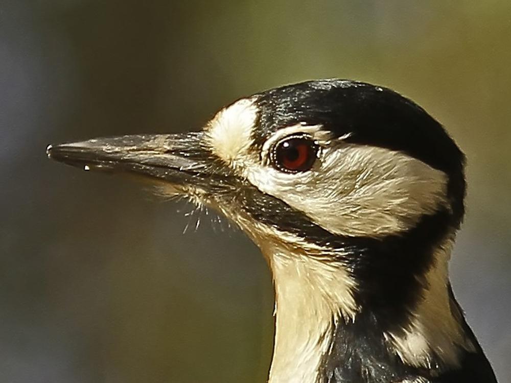 Pico picapinos Birding Aragon