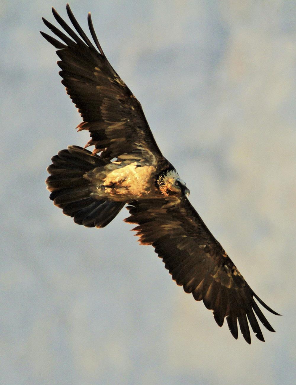 quebrantahuesos aves emblematicas