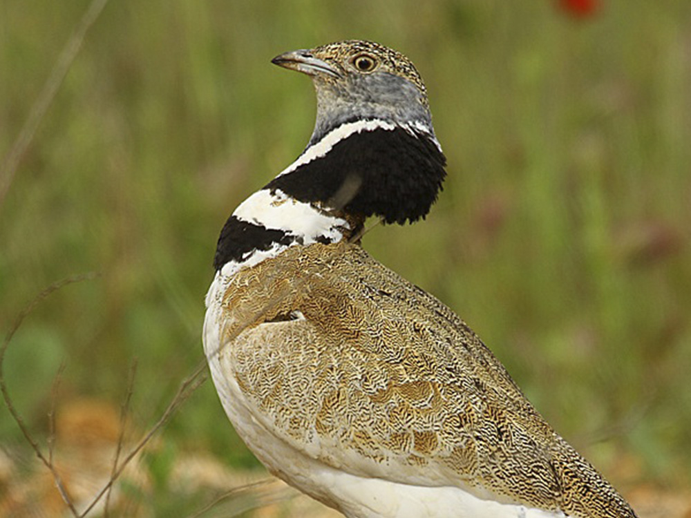 Sison Aves Emblematicas Aragon