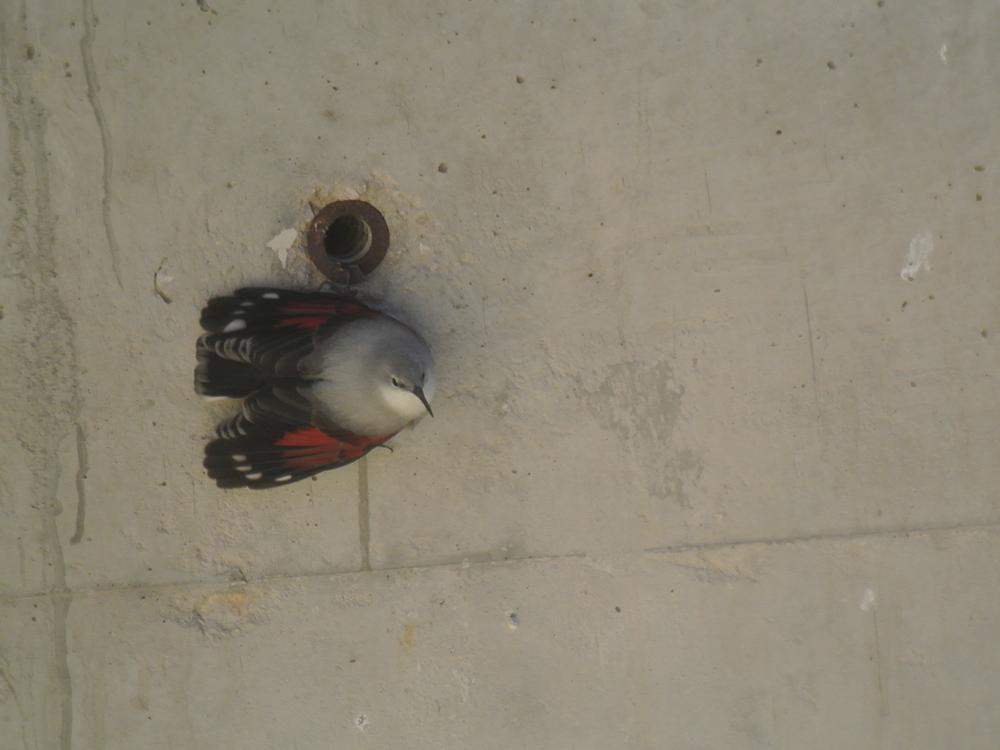 Treparriscos Birding Aragon