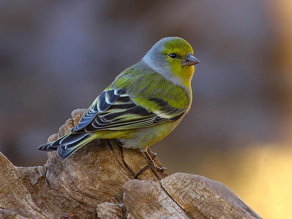 verderon serrano aves emblematicas