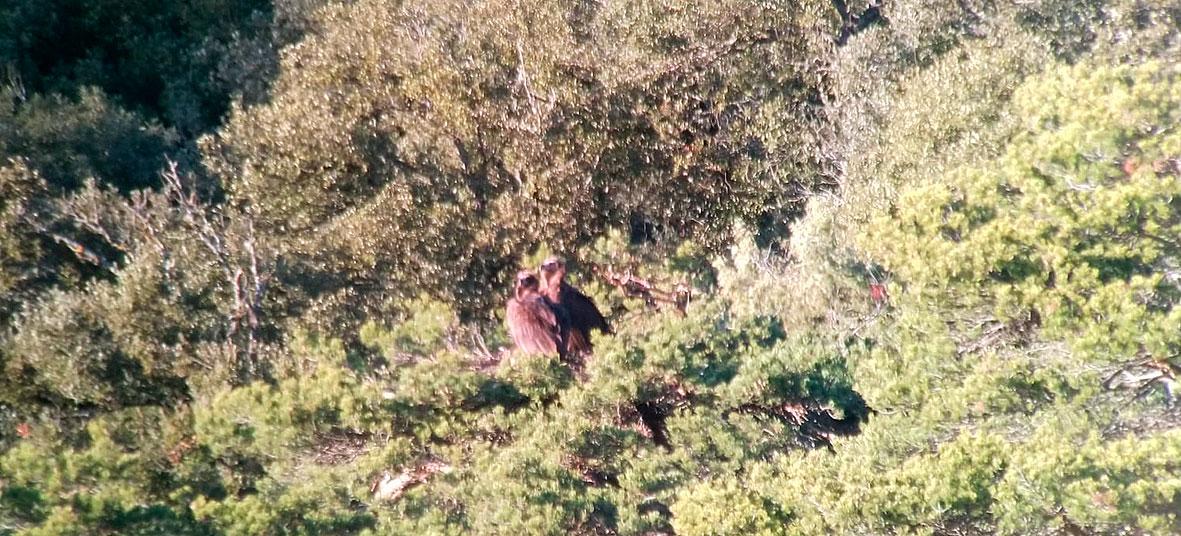 La pareja de buitres negros Muntaner y Viliana, sobre el nido que ocupan en el Prepirineo de Huesca. Foto: GREFA.